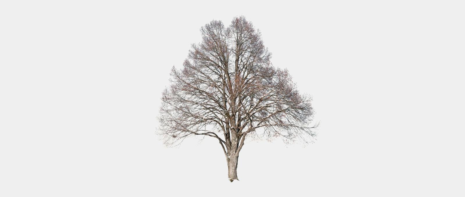 Tilia-platyphyllos_Sommerlinde_01_winter_1600x678